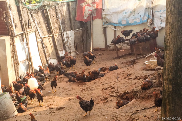 Chickens in the backyard, Longyou, China by Expat Edna