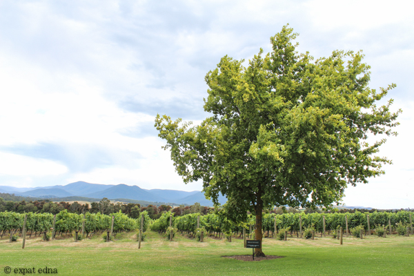 Chandon Vineyards trees - Yarra Valley Wine Tour Melbourne by Expat Edna