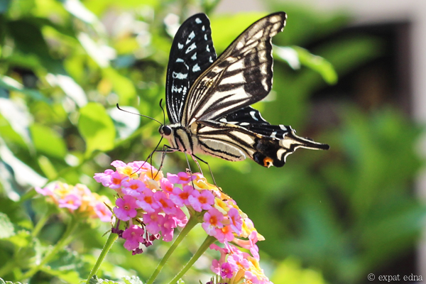 Butterfly in Neyagawa by Expat Edna